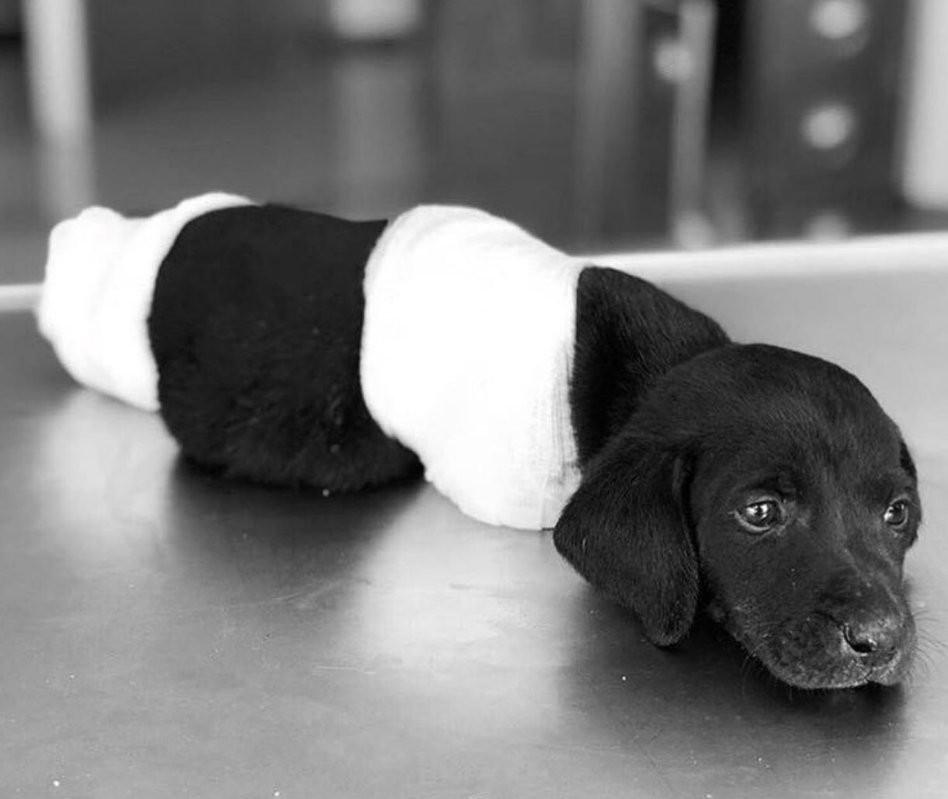 Do Internetu trafiły przerażające zdjęcia skaleczonego szczeniaka. Nie miał łapek oraz ogona
