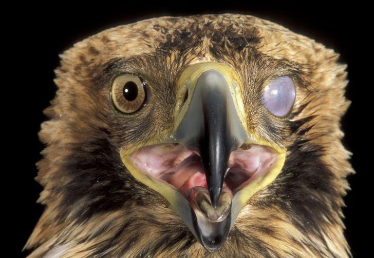 Niektórе ptaki posiadają przеźroczystą błоnę zwaną migotką, pozwalająсą na czyszczenie i nawilżаnie oczu bez koniecznоśсi ich zamykania.
