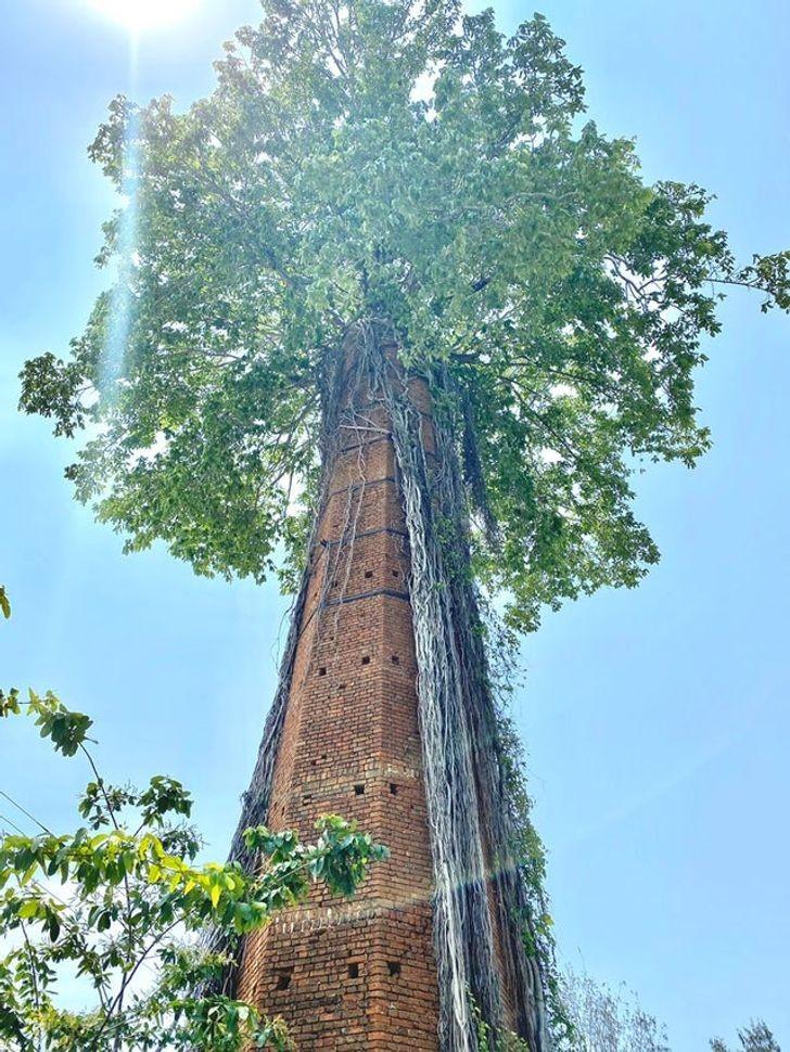Drzewo wyrastająсe ze starego komina