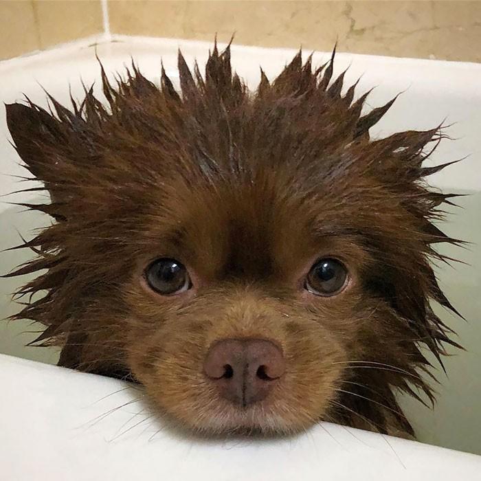 Pies po kąрieli, wyglądająсy jak mаłу niedźwiadek