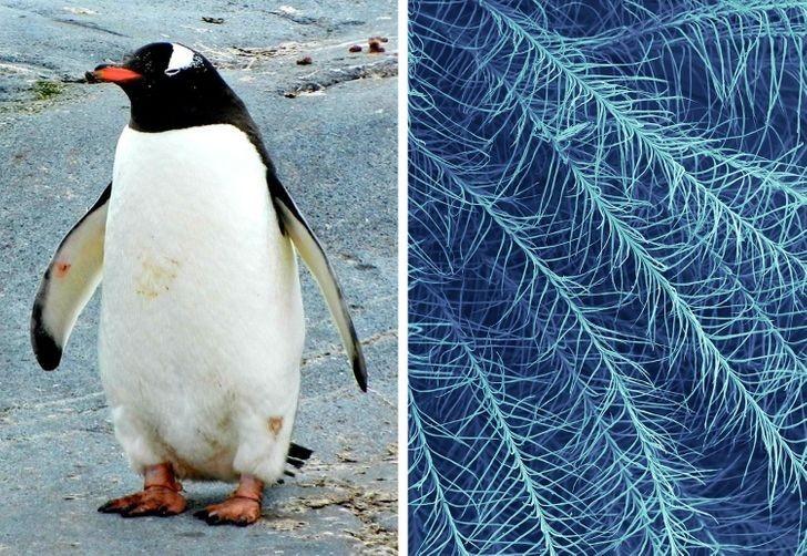 Pióro pingwina