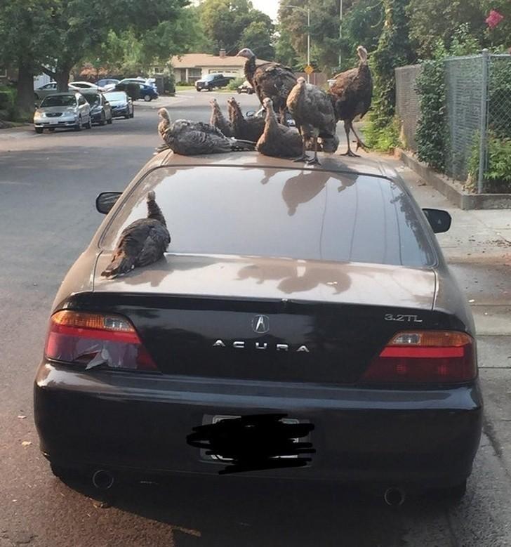 """11. """"Gang indyków okupujący mój samochód"""""""