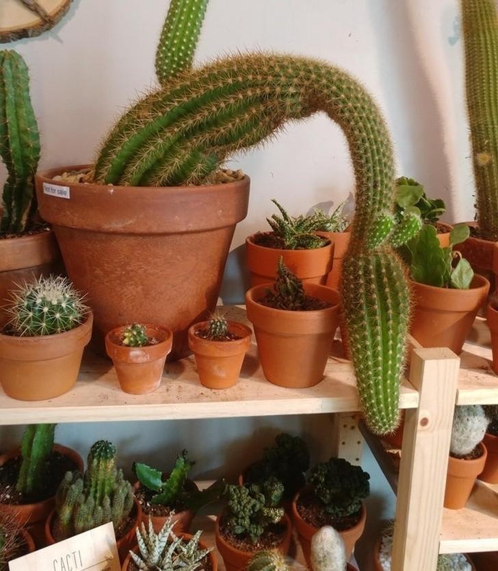 9. Wygląda na to, że ten kaktus był smokiem w swoim poprzednim wcieleniu