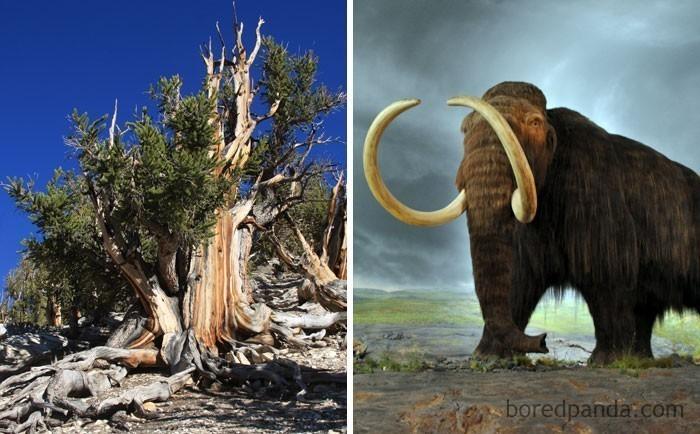 8. Najstarsze żyjące dziś drzewo (sosna długowieczna) miało już 1000 lat, gdy wyginęły ostatnie mamuty włochate