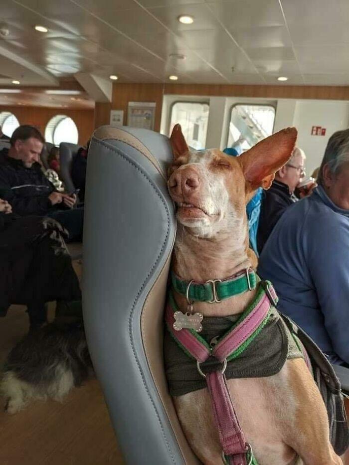 """""""Adoptowany pies podróżuje do nowego domu na pokładzie promu."""""""