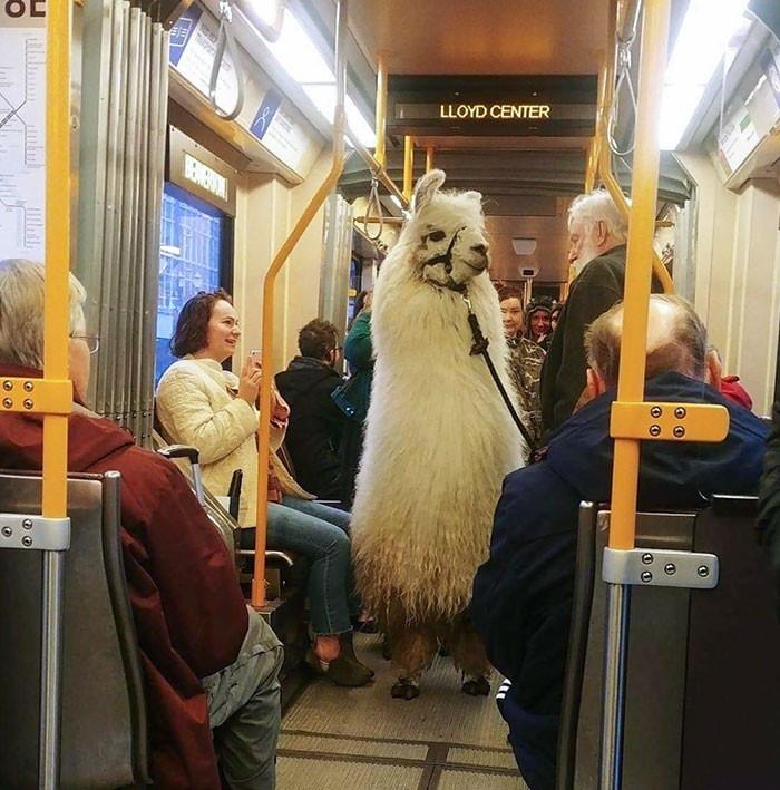 """""""Najwyraźniej lamy mogą podróżować komunikacją publiczną."""""""