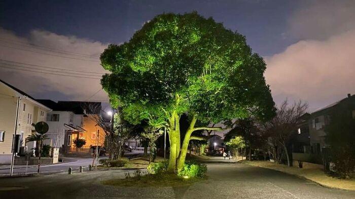 Gigantyczny brokuł