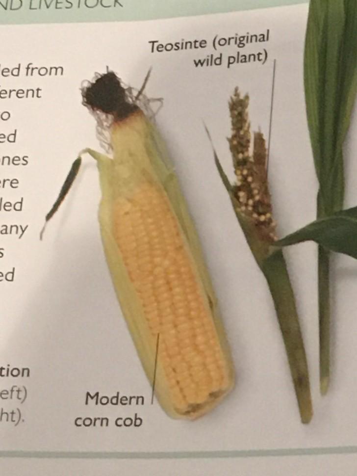 5. Kukurydza była ledwo jadalna.
