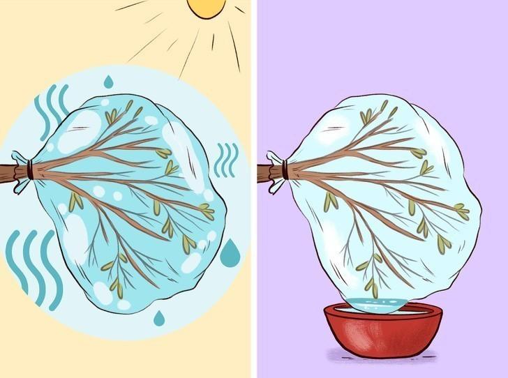 1. Zawiąż foliową torebkę wokół gałęzi by zebrać wodę.