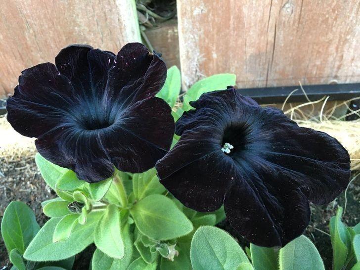 """11. """"Czarne petunie z mojego ogrodu"""""""