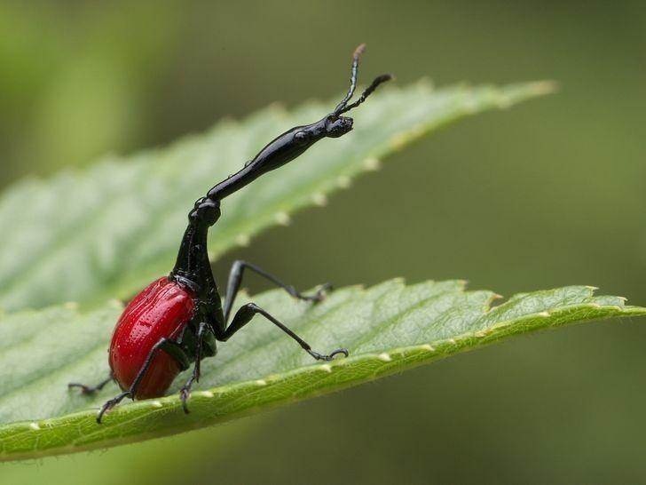 13. Ten owad to żyrafka madagaskarska. Długa szyja pomaga mu w budowaniu gniazda i walce międzygatunkowej.