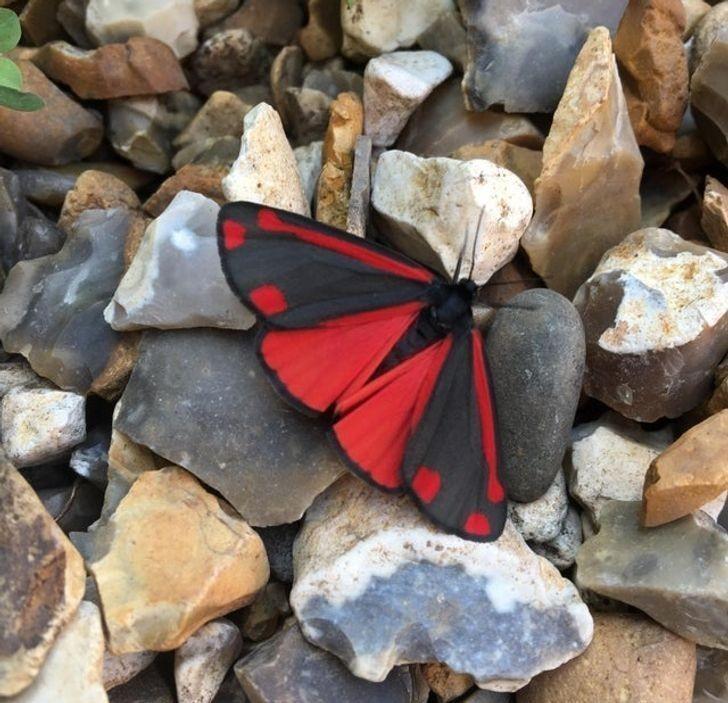 6. Proporzyca marzymłódka – motyl o niezwykłym ubarwieniu