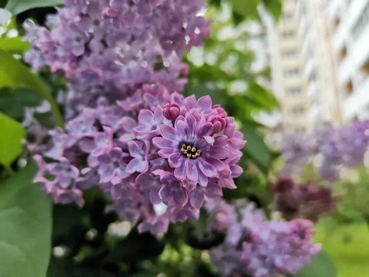 10. Kwiaty bzu o niecodziennym kształcie