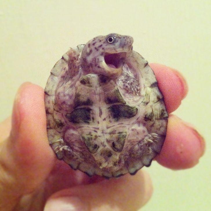 11. Uroczy żółwik
