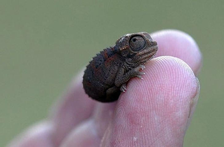 12. Kameleon mieszczący się na palcu