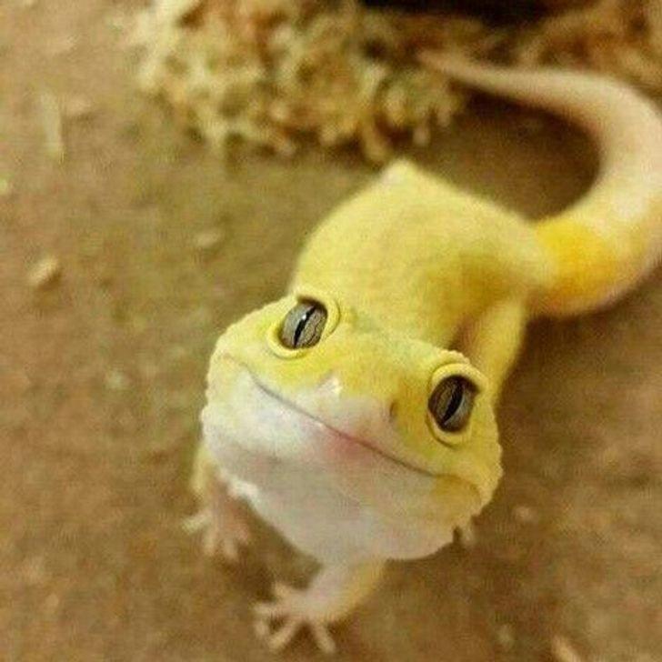 3. Szczęśliwy gekon