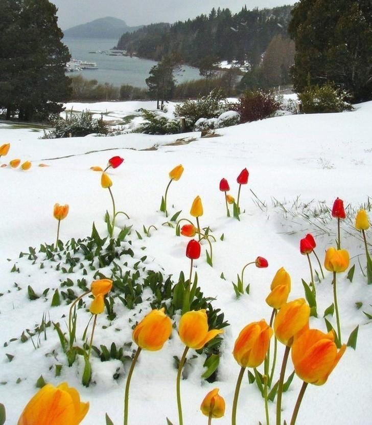 19. Tulipany kwitnące w śniegu