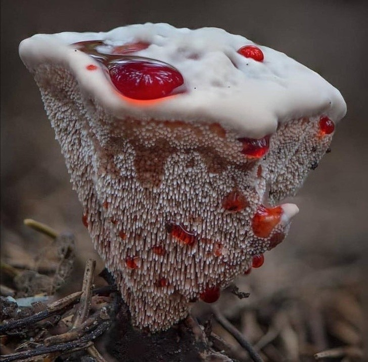 5. Kolczakówka piekąca to grzyb o intrygującym wyglądzie.