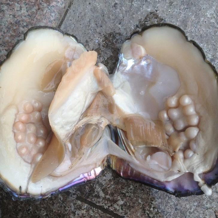 6. Tak kształtują się perły wewnątrz ostrygi.